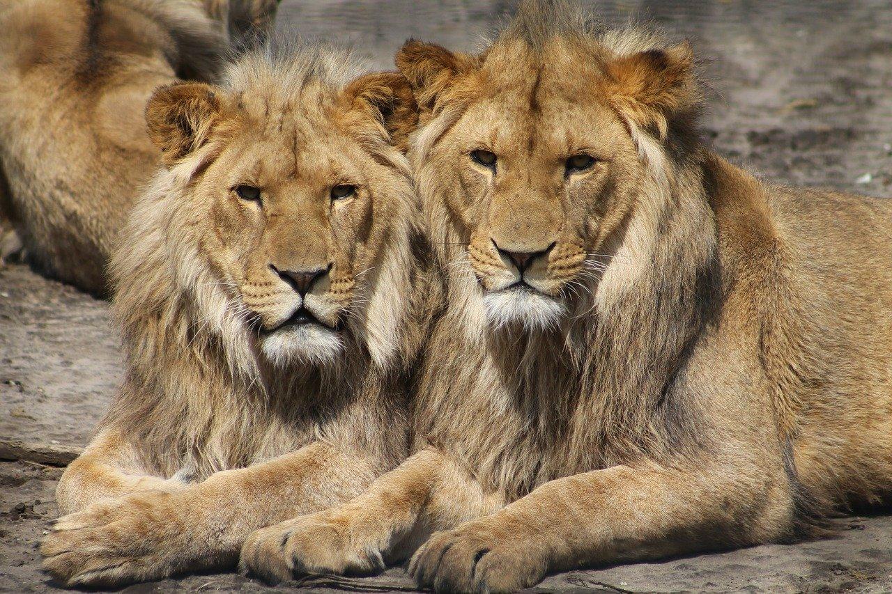 lions, zoo, animal